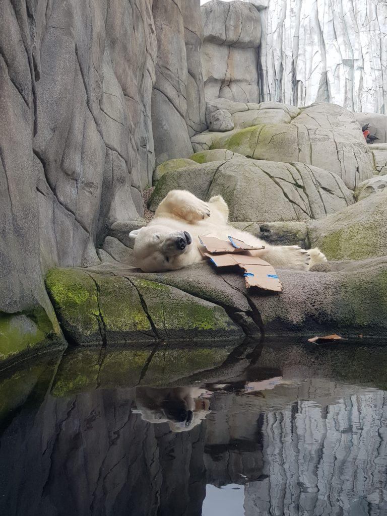 Tierpark Hagenbeck Eisbär